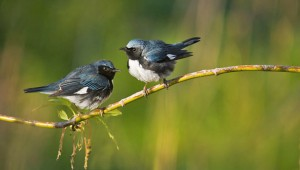 Black-throated Blue Warblers