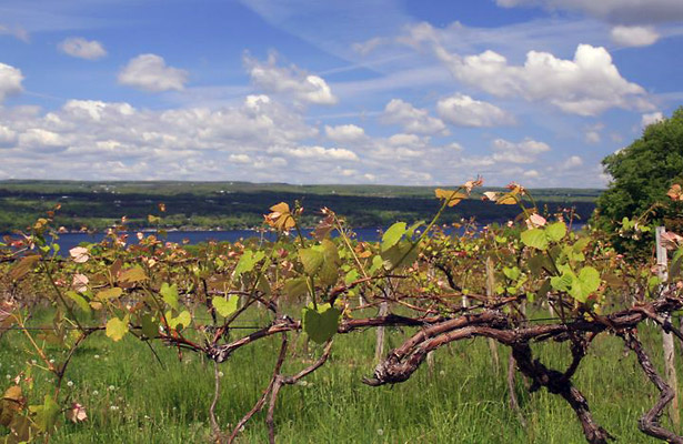 Vineyard, Finger Lakes Region, NY