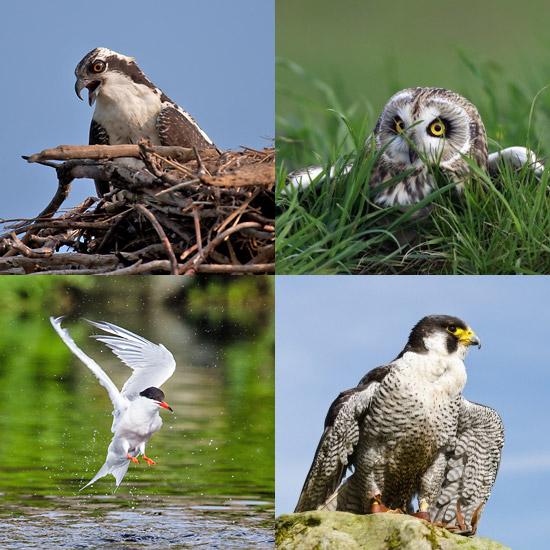 Osprey, Short-eared Owl, Common Tern, Peregrine Falcon