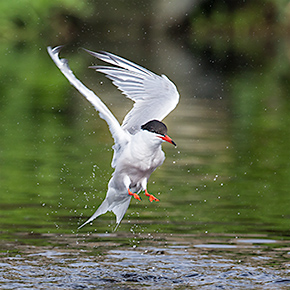 Common Tern in Flight. The Common Tern is a endangered species in Pennsylvania. Photo by Chris Fischer.
