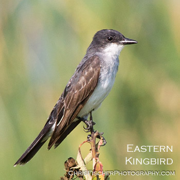 Eastern Kingbird. Copyright Chris Fischer.