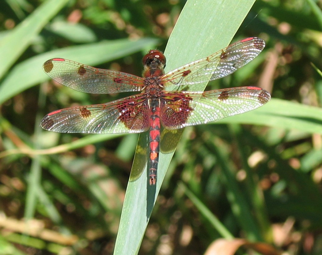 Calico Pennant, male - Monroe County