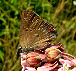 Edward's Hairstreak, Lackawanna County, PA