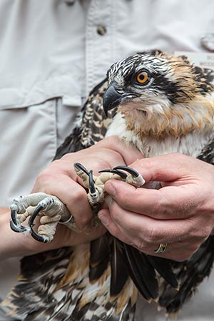 Osprey being banded by Scott Weidensaul on Hog Island (July 2014).
