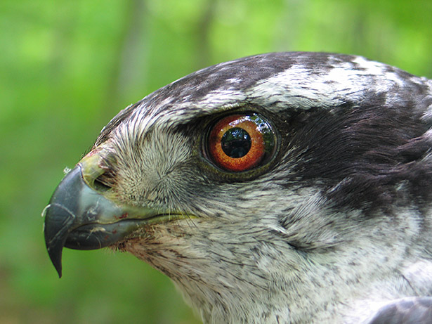 Northern Goshawk, photo by David Brinker.