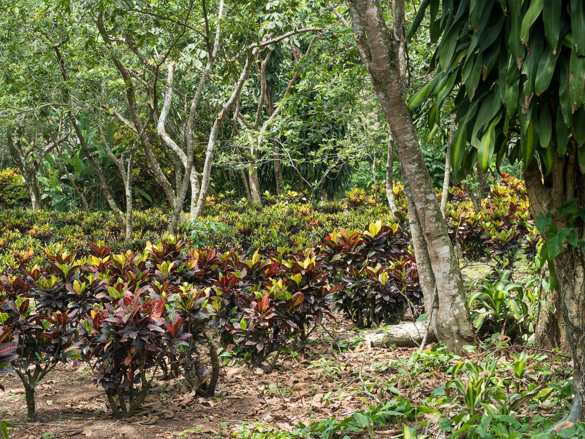 Shade-grown coffee at Los Tarrales Reserve (Chris Fischer Photography)
