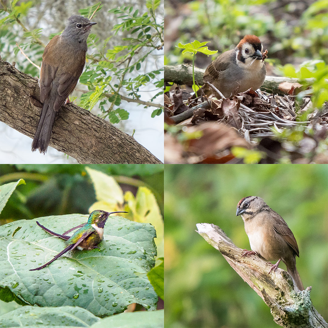 Birds of Lake Atitlan. Clockwise from upper left: Gray-backed Solitaire, Prevost's Ground Sparrow, Rusty Sparrow, Slender Sheartail. (Chris Fischer Photography)