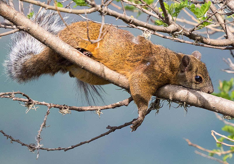 Squirrel at Tzankujil Reserve (Chris Fischer Photography)