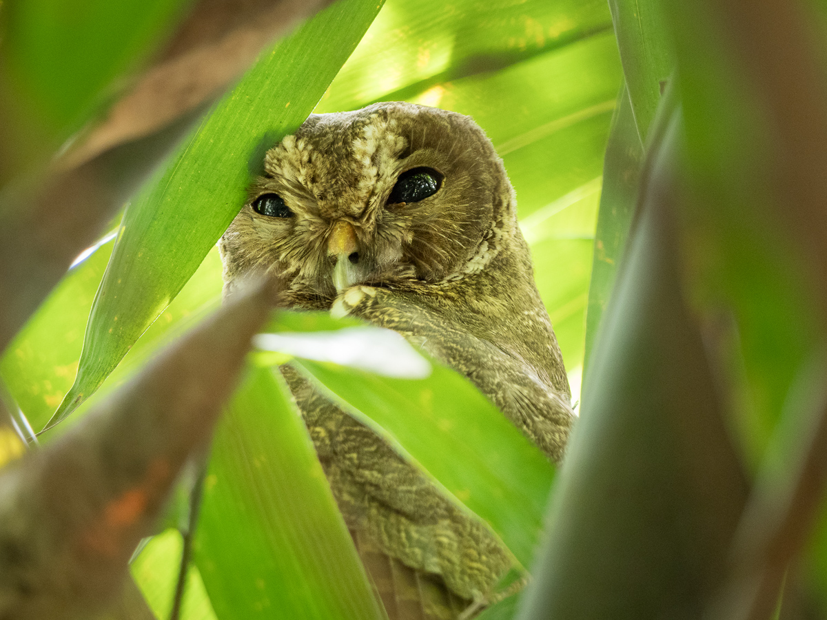 Mottled Owl, Los Tarrales Reserve, Guatemala (Chris Fischer Photography)