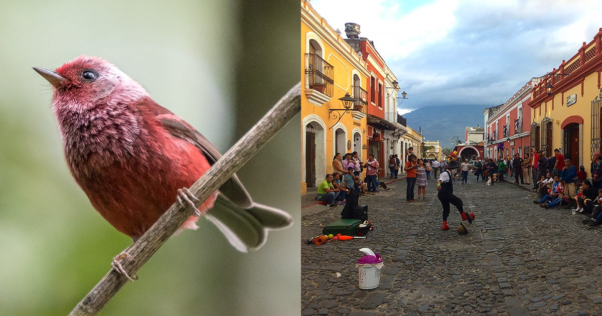 Pink-headed Warbler; Antigua Guatemala